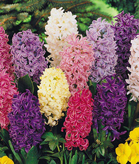 Mixed Hyacinth